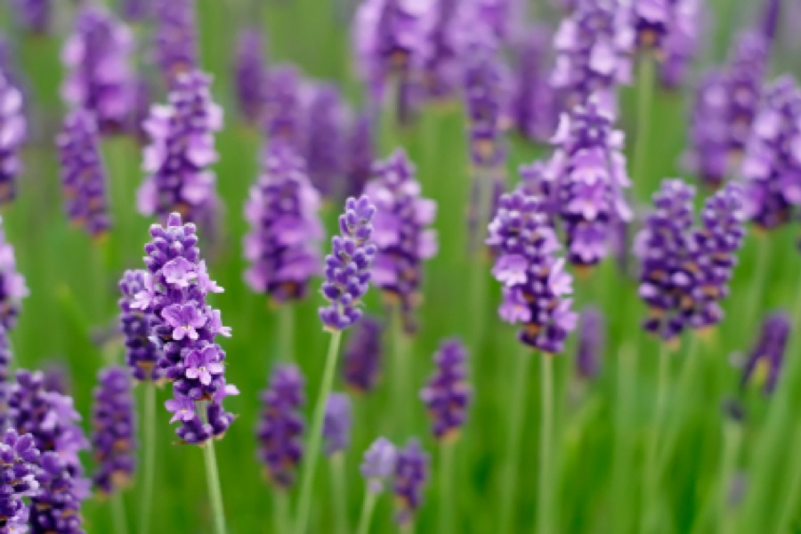 pic-lavender-flowers-900x600
